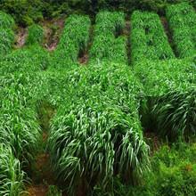 牧草黑麦草种籽多年生墨西哥玉米草种子四季养殖牛羊鸡鹅鱼草种籽