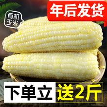 香甜软糯,糯糯的,这款玉米非常好吃__实发6斤非转基因1月新鲜甜糯玉米棒粘糯米棒 营养黏玉米10根