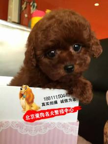 纯种茶杯泰迪犬 幼犬出售宠物狗红色玩具贵宾犬 疫苗驱虫做完