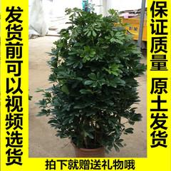 鸭脚木鸭脚木盆栽室内植物鹅掌柴大型植物吸甲醛防辐射鸭脚木
