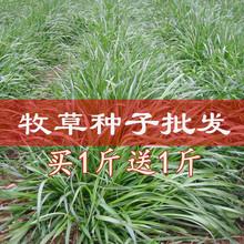 玉米草种子黑麦草牧草种子紫花苜蓿苏高丹皇竹草四季多年生四季青