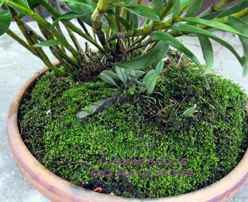 家庭兰花简易种植方法---苔藓种植兰花 - 乔木一泓 - 乔木一泓
