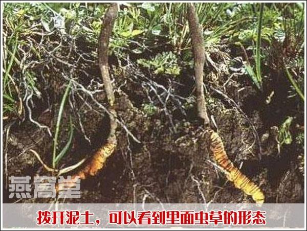 虫草在泥土里面的形态